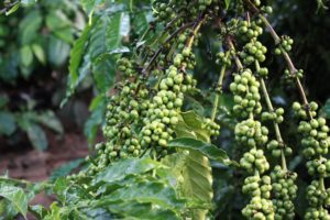 Twin Trading East Africa Coffee Evaluation